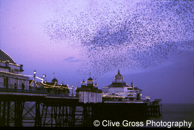 Starlings over Eastbourne Pier